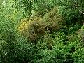 UlexEuropaeusBlendecques2006FL.jpg