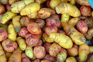 Tuber structures in some plant species used as storage organs for nutrients