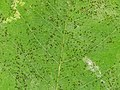 Uncinula tulasnei - powdery mildew - Echter Mehltau 03.jpg