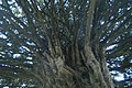 Underside of the famous yew in churchyard of church of S. Peter & S. Paul, Harlington, Middlesex, 2014.jpg