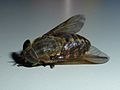 Unidentified Diptera - Les Salles-sur-Verdon 03.JPG