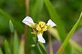 Unidentified flower, Bandungan, Semarang Regency, 2014-09-30 10.jpg