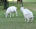 Urinating goat with a other goat in field.jpg