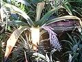 Ursulaea macvaughii BotGardBln01102011B.jpg
