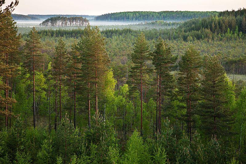 Forest in Meenikunno Nature Park, Estonia.
