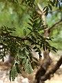Vachellia farnesiana or Acacia farnesiana - leaves I.jpg