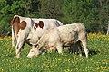 Vaches allée Pré Brus St Cyr Menthon 7.jpg
