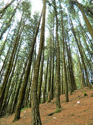 Pine - Pine Forest in Vagamon, Southern Western Ghats, Kerala (India)