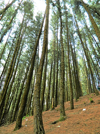 Pine forest in Vagamon, southern Western Ghats, Kerala (India) Vagamon Pine Forest.jpg