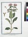 Valerianella Cornucopoides, flore Galeato - Valerianella - Mache (NYPL b14444147-1125049).tiff