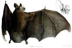 VampyrusAuritusFord.jpg