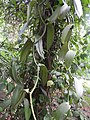 Vanilla planifolia-2-JNTBGRI-palode-kerala-India.jpg