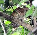 Vermiculated Screech-Owl (6915125288).jpg