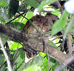 Vermiculated Screech-Owl (6915125288).jpg