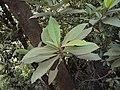 Vernonia arborea 16.JPG