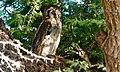 Verreaux's Eagle-owl (Bubo lacteus) eating a Cape Cobra (6499637647).jpg