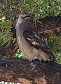 Verreaux's eagle-owl, or giant eagle owl, Bubo lacteus eating a snake at Pafuri, Kruger National Park, South Africa (20676073242).jpg