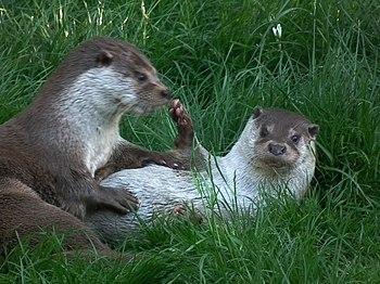 Deutsch: Fischotter (Lutra lutra) im Wildpark ...