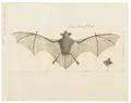 Vespertilio hasseltii - 1700-1880 - Print - Iconographia Zoologica - Special Collections University of Amsterdam - UBA01 IZ20800141.tif
