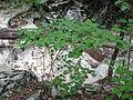 Viburnum bracteatum.jpg