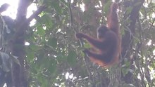 File:Video wild orangutan Borneo.webm