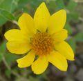 Vigueria deltoidea flower 2.jpg