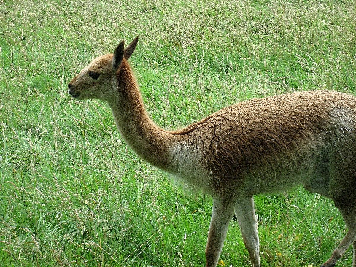 Camelidae  U2014 Wikip U00e9dia