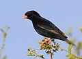 Village indigobird, Vidua chalybeata, at Mapungubwe National Park, Limpopo, South Africa (male) (18010696666).jpg