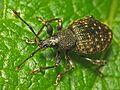 Vine Weevil (Otiorhynchus sulcatus).jpg