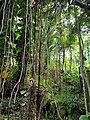Vines and Trees, Hawaii (33230468000).jpg