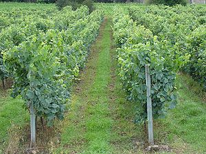 Vineyards in Vinho Verde Demarcated Region in ...