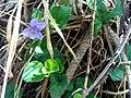 Viola riviniana Habitus3 SierraMadrona.jpg