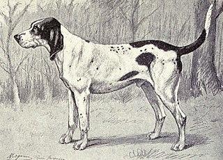 Gascon Saintongeois Dog breed