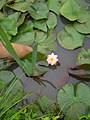Water lily (3896238273).jpg
