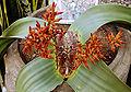 Welwitschia 471-42.jpg