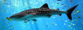 Whale-shark-enhanced.jpg
