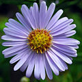 Whazzit Name That Flower picture of Aster Tataricus.jpg