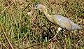 Whistling Heron (Syrigma sibilatrix) - 48181373527.jpg