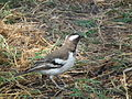 White-browed Sparrow-weaver Plocepasser mahali in Tanzania 1630 Nevit.jpg