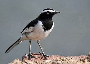 Motacillidae - White-browed wagtail