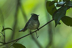 White-tailed Crested-Flycatcher - Malawi S4E4165.jpg