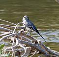 White Wagtail (Motacilla alba alba) - Flickr - gailhampshire (1).jpg