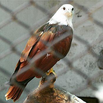 White head eagle.jpg