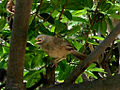 White headed babbler (Turdoides affinis) at Madhurawada 07.JPG