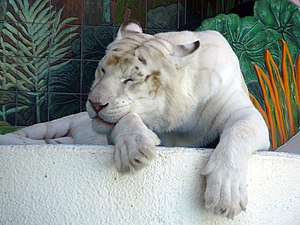 White tiger - A tiger with almost no stripes at The Mirage in Las Vegas.