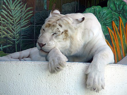 White tiger - Wikiwand