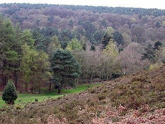 Churt - Coniferous woods in Whitmore Vale, Churt