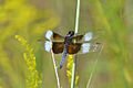 Widow Skimmer (Libellula luctuosa) (14914183550).jpg