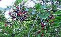 Wild cherries 7.jpg