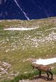 Wild goat of Pirin.png